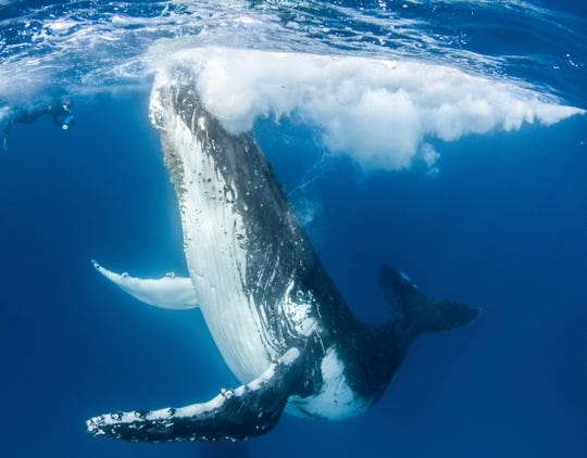 Robert Irwin swimming with and photographing a humpback whale at Lady Elliott Island.