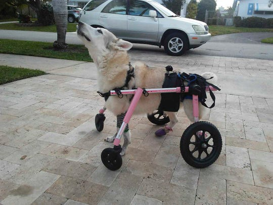 This photo provided by Wanda D. Ferrari on Saturday, Oct. 5, 2019, shows a missing husky mix dog named Zorra in Oakland Park, Fla.  Animal rescue groups are helping the owner Wanda Ferrari find her disabled dog after her car was stolen with the dog inside. Zorra uses a pink wheelchair to walk because its back legs are paralyzed.