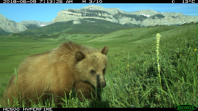 Grizzly bear on the Rocky Mountain Front. Image captured by a motion activated camera