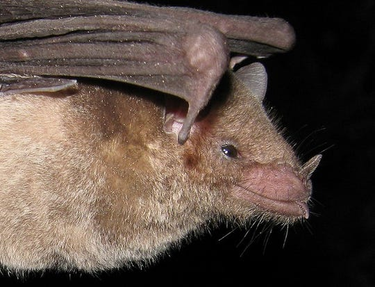 A close-up of the Mexican long-nosed bat.