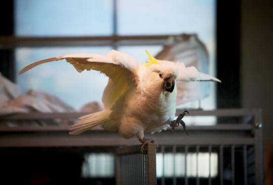Professor, a sulfur-crested cockatoo, enjoys a mist bath at Dickerson Park Zoo Friday, Oct. 4, 2019.