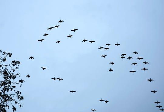 A flight of Canada geese head south over South Burlington on Sunday, Oct. 6, 2019.