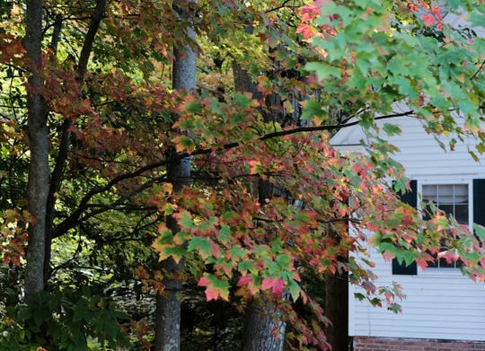 A maple in South Burlington begins to take on color on Saturday, Oct. 5, 2019.