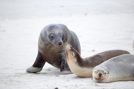 Seal Bay Conservation Park on Kangaroo Island, Australia