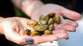 The N.C. Wildlife Resources Commission released mussels into the French Broad in the hopes they will one day improve the water quality.