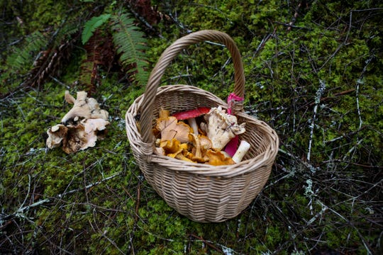 The Kitsap Mycological Society ventured into the Tahuya State Forest on Saturday, Oct. 5 to search for mushrooms and habitat where mushrooms may pop up in the future. The club aims to help beginner foragers, as well as educate the public on the importance of fungi's role in the ecosystem.