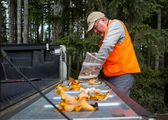 David Ansley sorts through his basket of mushrooms after an excursion with the Kitsap Peninsula Mycological Society on Oct. 5 in Tahuya State Forest. He found many white and golden chanterelles, a choice edible fall mushroom that grows in the region.