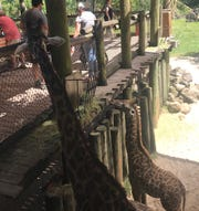 T-Bone, a nearly one-year-old giraffe, died last week at the Brevard Zoo following a parasitic infection.