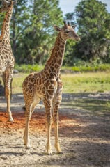 T-Bone, a nearly one-year-old Masai giraffe, died Thursday morning following a parasitic infection