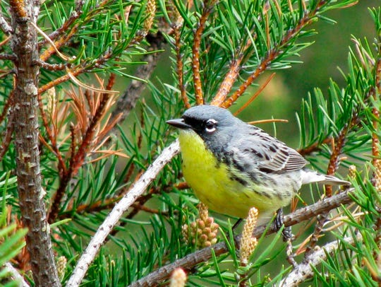 In this May 19, 2008, file photo, a Kirtland's warbler perches on a branch in the jack pine forests of northern Michigan near Mio, Mich.