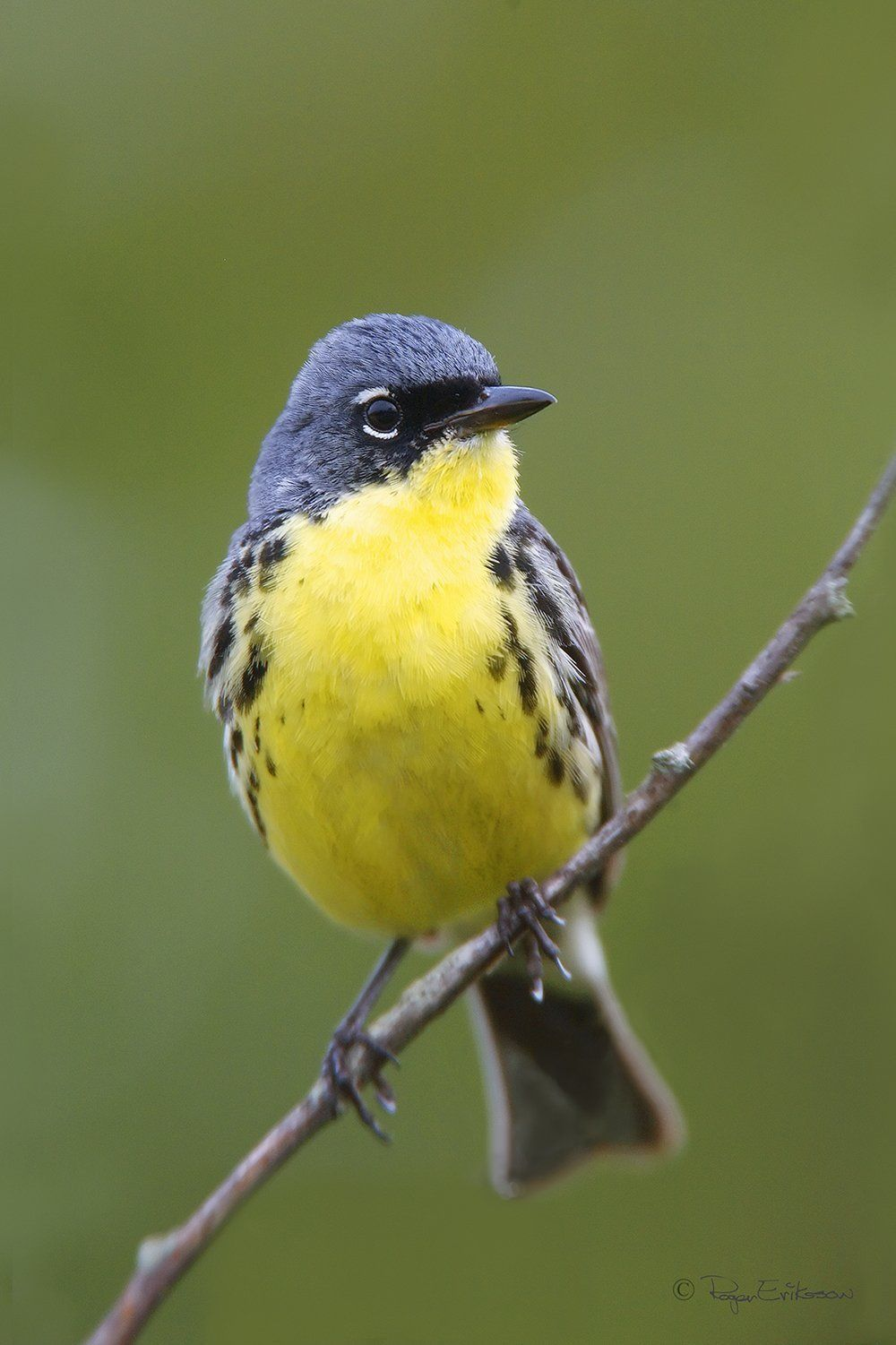 Once near extinction, Michigan's Kirtland's warbler bird comes off endangered list