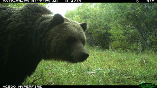 A mature male grizzly as captured by a motion detection camera
