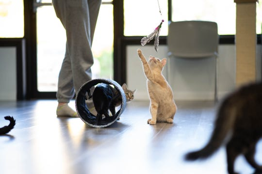 Cats play at Constellation Cat Cafe in East Lansing, Monday, Oct. 7, 2019.  The non-profit cafe features a coffee shop on one side, and a cat room on the other.   Guests can watch cats through a window, or interact with them in the playroom.  All cats are adoptable.