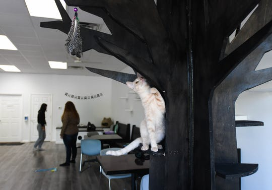 A cat plays at Constellation Cat Cafe in East Lansing, Monday, Oct. 7, 2019.  The non-profit cafe features a coffee shop on one side, and a cat room on the other.   Guests can watch cats through a window, or interact with them in the playroom.  All cats are adoptable.
