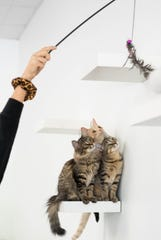 Ella Zaban of Perry plays with cats at Constellation Cat Cafe in East Lansing, Monday, Oct. 7, 2019.  The non-profit cafe features a coffee shop on one side, and a cat room on the other.   Guests can watch cats through a window, or interact with them in the playroom.  All cats are adoptable.