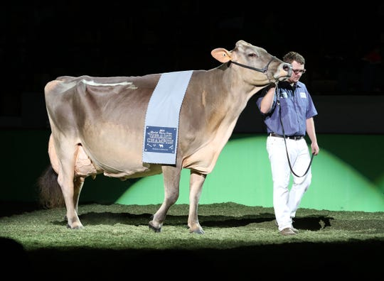 Cutting Edge T Delilah is led across the colored shavings by Kyle Barton during the World Dairy Expo Parade of Champions on Oct. 5 in Madison.