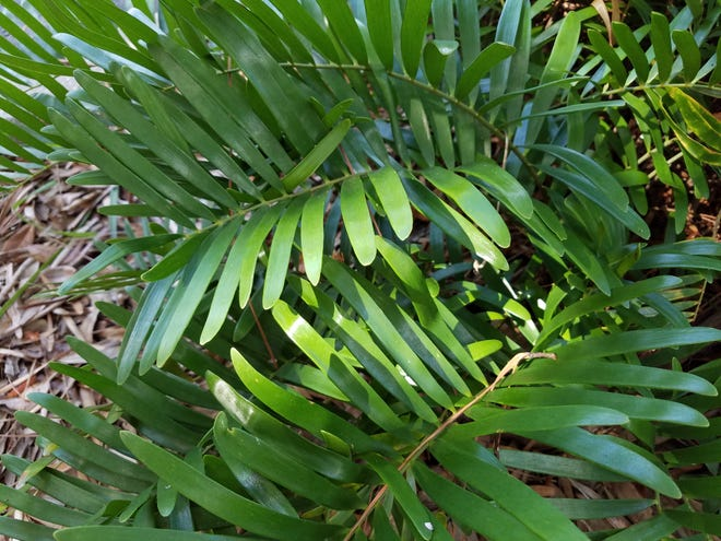 The coontie is a host plant for atala butterfly caterpillars.