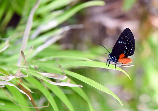 Once thought to be extinct, atala butterflies are making a comeback in Florida.