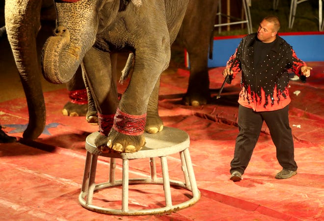 The Carden family has provided elephants for circuses across the country for decades. The USDA has documented a chronic problem with tuberculosis infections in the Carden family's elephants. In this image, trainer works with elephants performing in the ring during the Carden International Circus Spectacular at the Clarksville Speedway and Fairgrounds in Clarksville, Tenn., on Monday, Oct. 7, 2019.