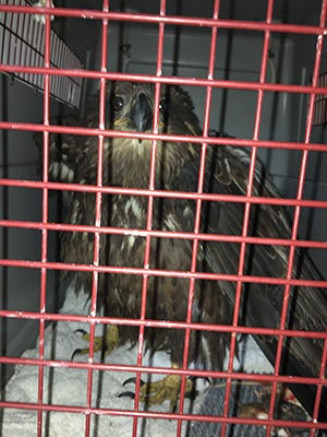 Michigan DNR Conservation Officers Steve Converse and Joseph Myers found and transported an eagle that had been shot to Wings of Wonder, a raptor education, rehabilitation and research facility in Leelanau County. Staff there evaluated the eagle, determined it would not be able to survive surgery, and had to euthanize it.