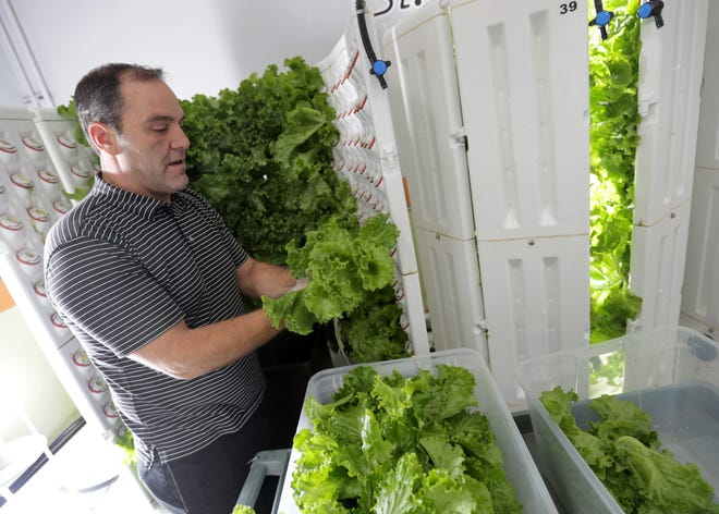 Operations manager Scott Schefe harvests lettuce from one of eight indoor hydroponic grow systems that operate year round at the St. Joseph Food Program facility in Menasha.