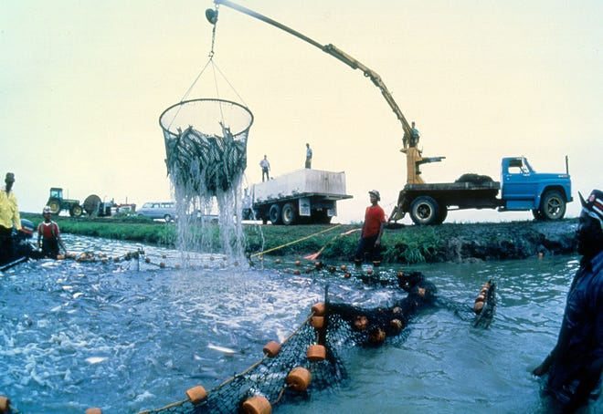 Employees load catfish at one of Consolidated Catfish Producers, LLC ponds in the Mississippi Delta.