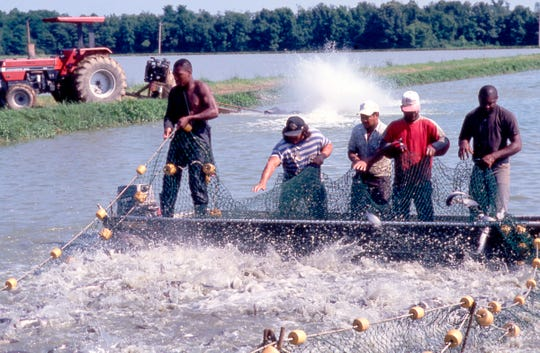 Catfish farmers at Consolidated Catfish Producers, LLC use a seining net to harvest catfish.