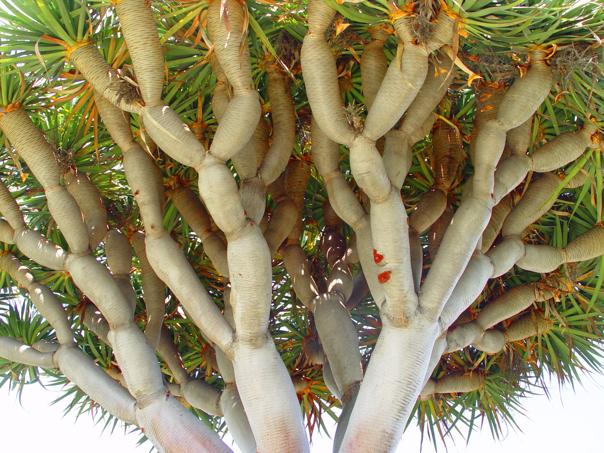 Sanguis Draconis The History Of The Dragon Tree Is Shrouded In Magic