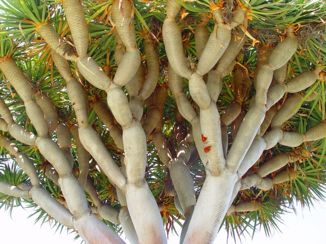 A healthy, old dragon tree will produce a symmetrical, tight canopy to protect the trunk and branches from sunburn.