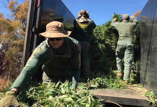 Deputies on Sept. 30, 2019, place pot plants in a trailer at one of six sites in Anza. Two people face charges, that will go through the Riverside County District Attorney's office.