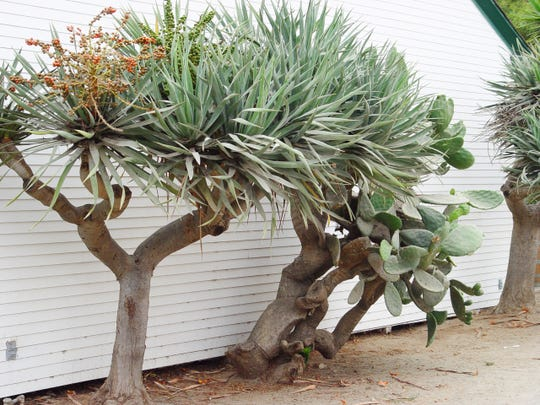 At least 35 years old because it bloomed and produced fruit, this dragon tree was found in Monterrey, Mexico, cold, explaining its unusually dwarf size.