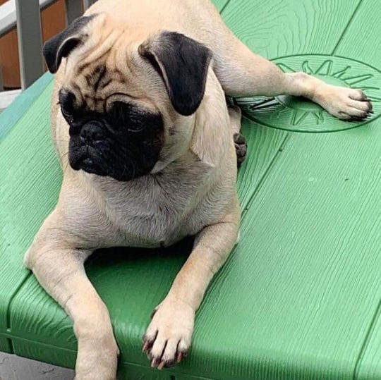 Zoe, 1-year-old pug, was killed when it was shot in York Township on Sept. 1 in York Township. Photo courtesy of the Justice for Zoe Facebook page.