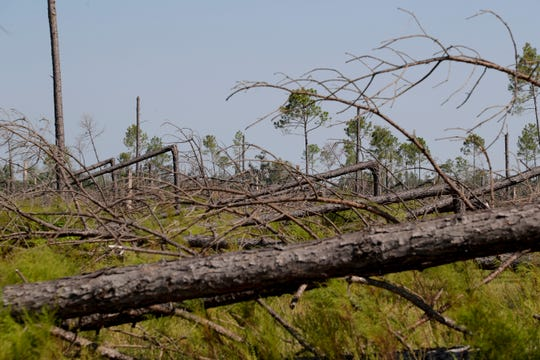 Twenty-one year old slash pine trees planted on Highway 274 in Calhoun County are still mangled after they were twisted and snapped by Hurricane Michael last year.