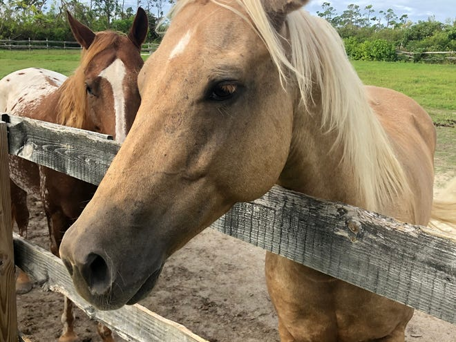 Some of the horses had open wounds and fungal infections that were treated by a Florida-based equine veterinarian.