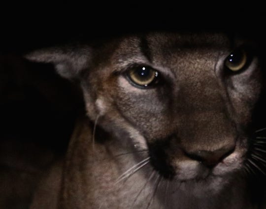 This is a photo of a female mountain lion dubbed P-53 taken in 2016.
