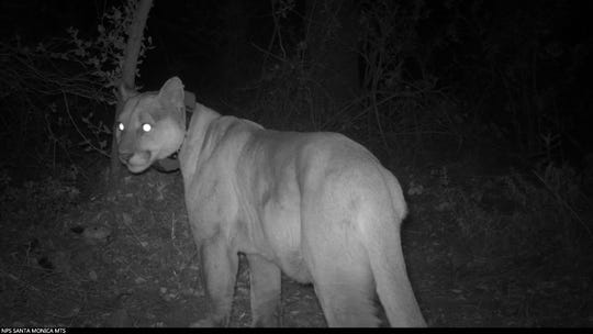 P-30, shown in this 2018 photo, was first discovered by researchers as a kitten. He had survived long enough in the Santa Monica Mountains to establish a home range.