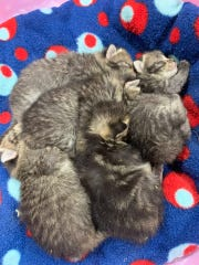 Five kittens were rescued Tuesday from a garbage can near Merrill. They are now at the Lincoln County Humane Society.