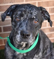 Thor is a 4-year-old, black merle, neutered Mastiff mix. He is a little shy at first, gets along with other dogs and is available for adoption at the Wichita Falls Animal Services Center.