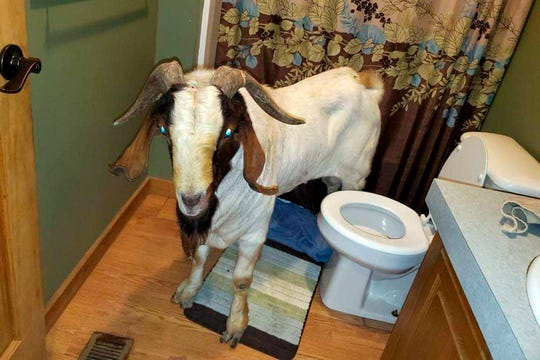 A goat stands in the bathroom of a home in Sullivan Township, Ohio.