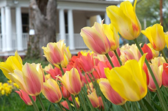 Colorblends house and garden in Bridgeport, Connecticut, is open in for six weeks every spring, in April and May. Thousands of tulips and other spring bulbs are on display in the gardens.