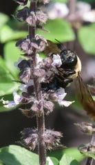 Basil blooms bring in a wide assortment of bees and other pollinators.