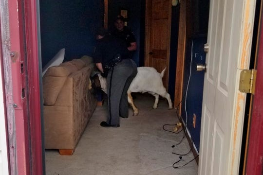 Ashland County sheriff's deputies wrangle up a goat found in a home.