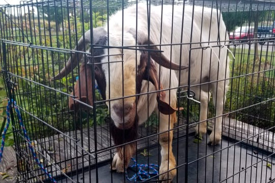 "The goat named ""Big Boy,"" who had escaped from a farm several miles away, was found napping in the bathroom after it broke into the home by ramming through a sliding glass door."