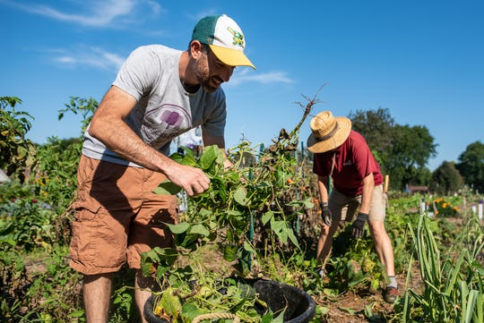 Volunteers harvest produce from the Madison Christian Community's food pantry garden.