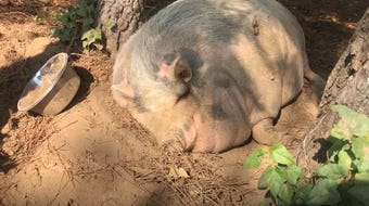 Rosie the pig took a snooze on a hot day at Cogan's Farm in Henderson and made national news.