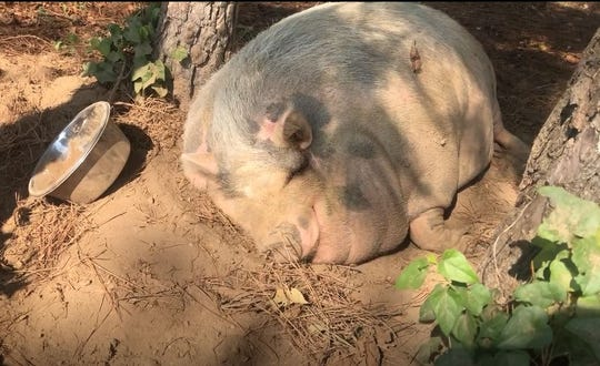 Rosie the pig of Cogan's Farm in Henderson, Tenn. takes a nap under the shade of a tree during a particularly hot day in September 2019.