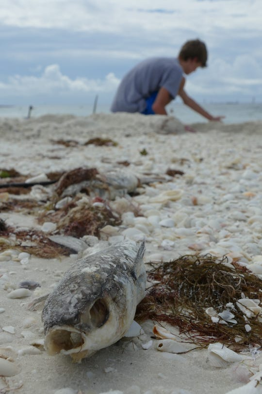 A young man plays with sand on South Beach, Marco Island, on Oct. 9. A few feet away from him, a dead fish rots. Dozens of dead fishwashed ashore Wednesday on Marco Island as government agencies alerted of high levels of the organism that causes the red tide.