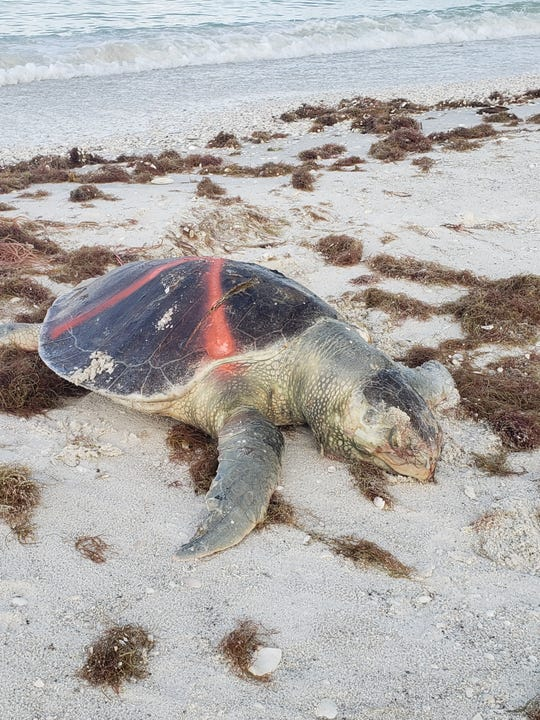 "A dead sea turtle was found by Collier County turtle patrol on Big Marco Pass on Oct. 9, according to Brittany Piersma, bird biologist for Audubon of the Western Everglades. ""They mark the ones they find with paint so they do not recount them,"" wrote in an email to the Eagle. Dozens of dead fish washed ashore Wednesday on Marco Island as government agencies alerted of high levels of the organism that causes the red tide."