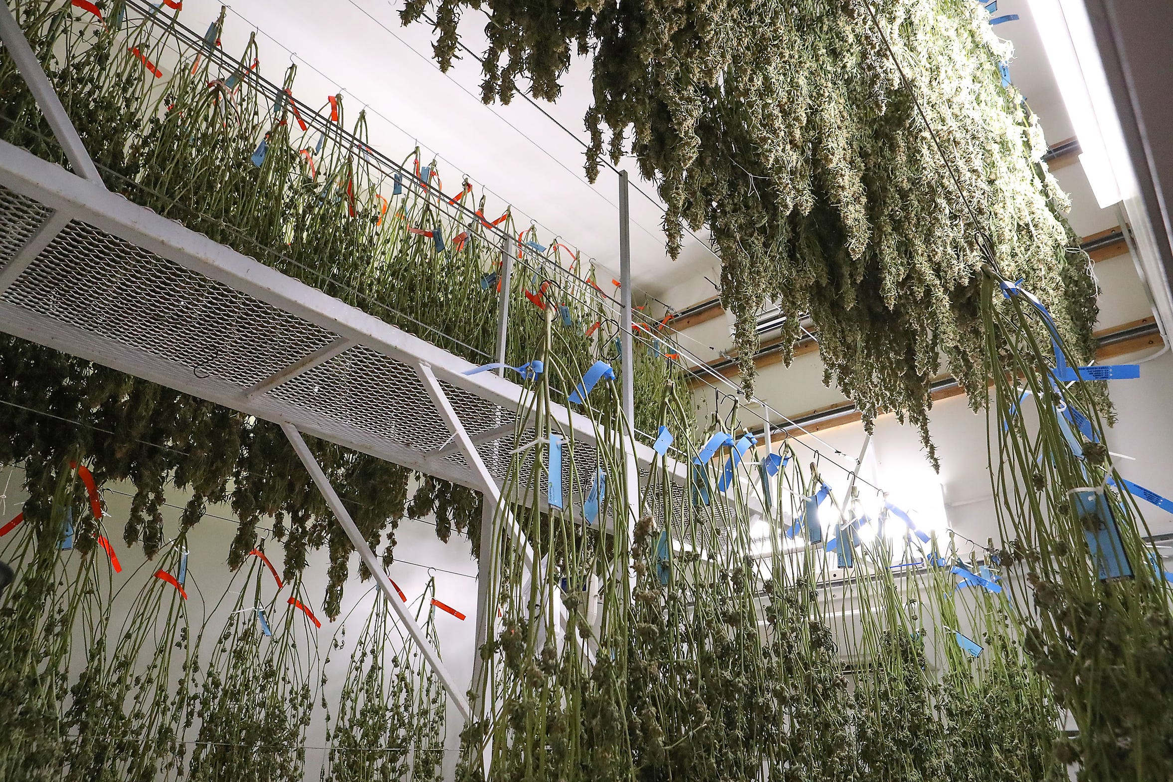Harvested marijuana is hung upside down to dry inside the Canndescent cannabis cultivation facility in Desert Hot Springs, September 17, 2019.