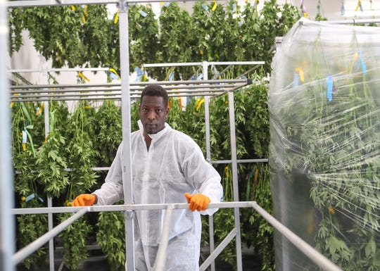 A cannabis industry job fair will be hosted in Palm Springs on Thursday, Oct. 24. In this file photo, Ra McClelland works with cannabis plants at the Canndescent cannabis cultivation facility in Desert Hot Springs, September 17, 2019.